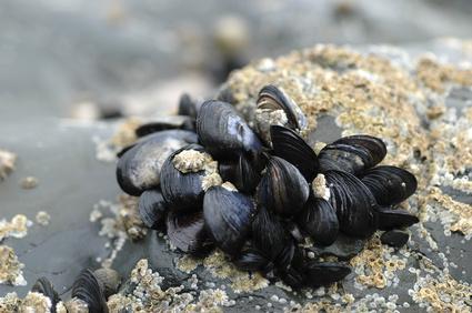Location Cotentin mer-gîte de bord de mer-moules sauvages