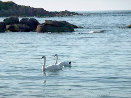 Location Cotentin mer-gîte de bord de mer-Cygnes